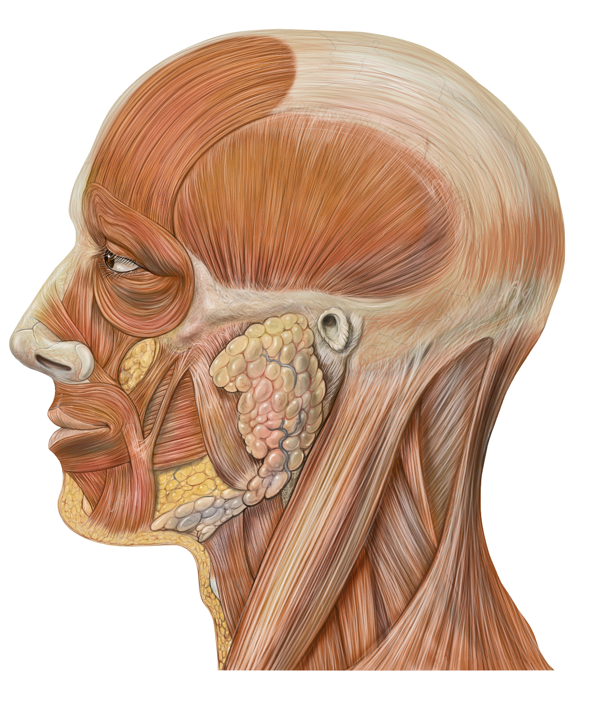 File:Lateral head anatomy.png.