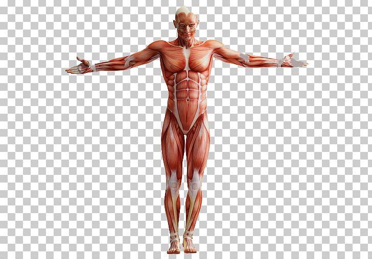 A ANATOMIA HUMANA Human Anatomy Muscular System Homo Sapiens PNG.