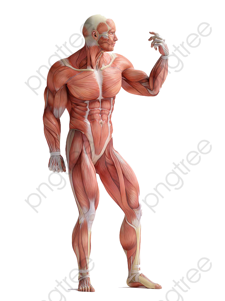 Muscle Body Anatomy Hd Buckle Material, Muscle Clipart, Muscle Body.