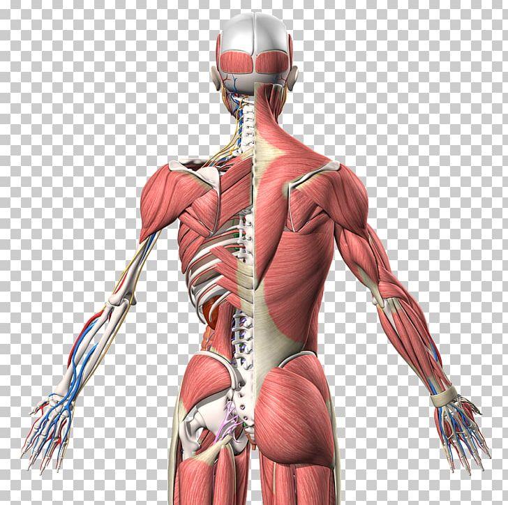 Muscle Homo Sapiens Human Anatomy Human Back PNG, Clipart, 3d.