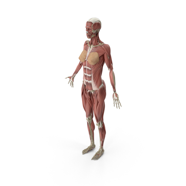 Anatomy PNG Images & PSDs for Download.