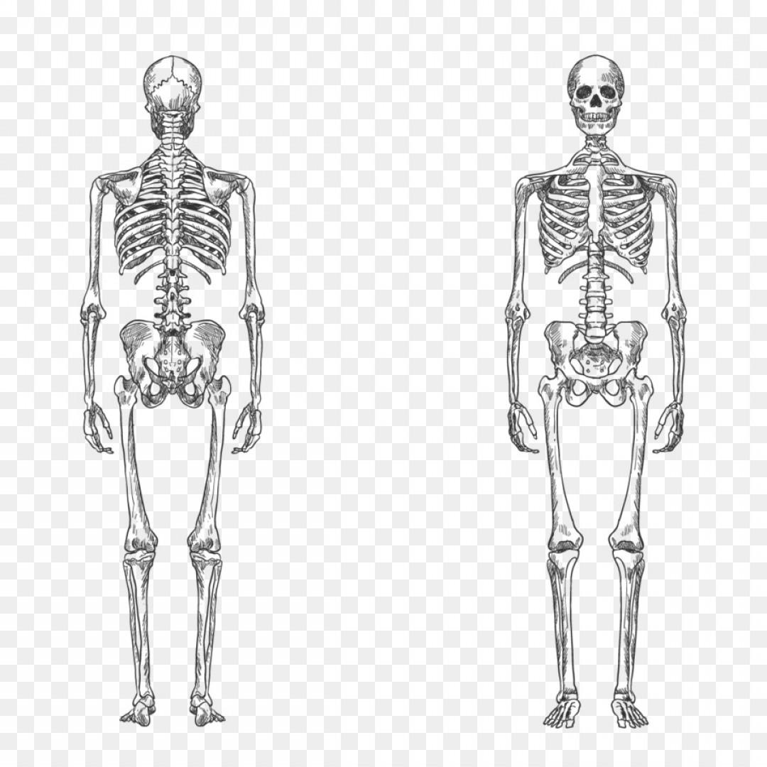 Png Human Skeleton Bone Human Body Anatomy Vector Huma.