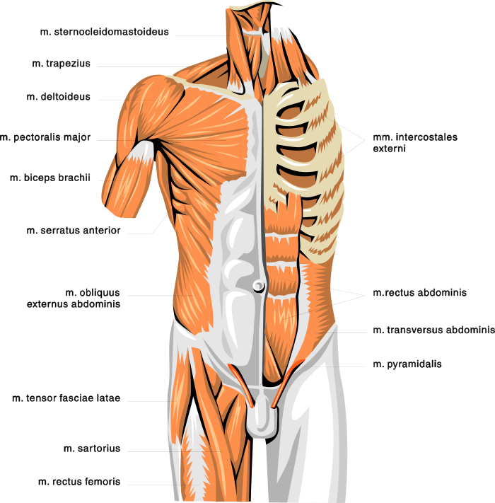 anatomy muscles 2.