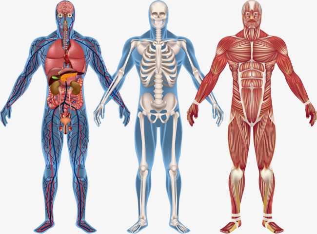 Human Anatomy Png, Vector, PSD, and Clipart With Transparent.
