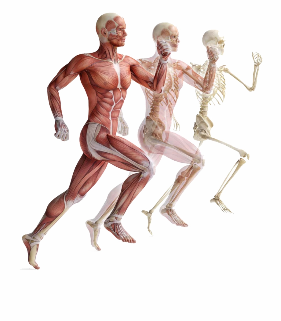 Muscle Anatomy Png.