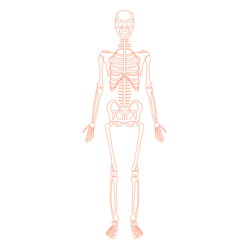 Skeletal system anatomy bones.