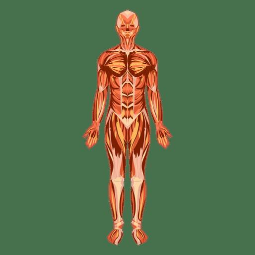 Muscular system anatomy human body.