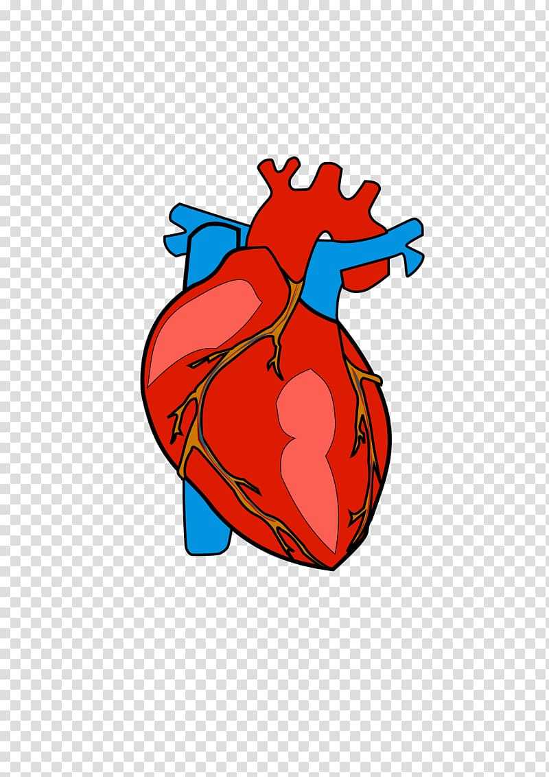 Heart Anatomy , Heart Body transparent background PNG.