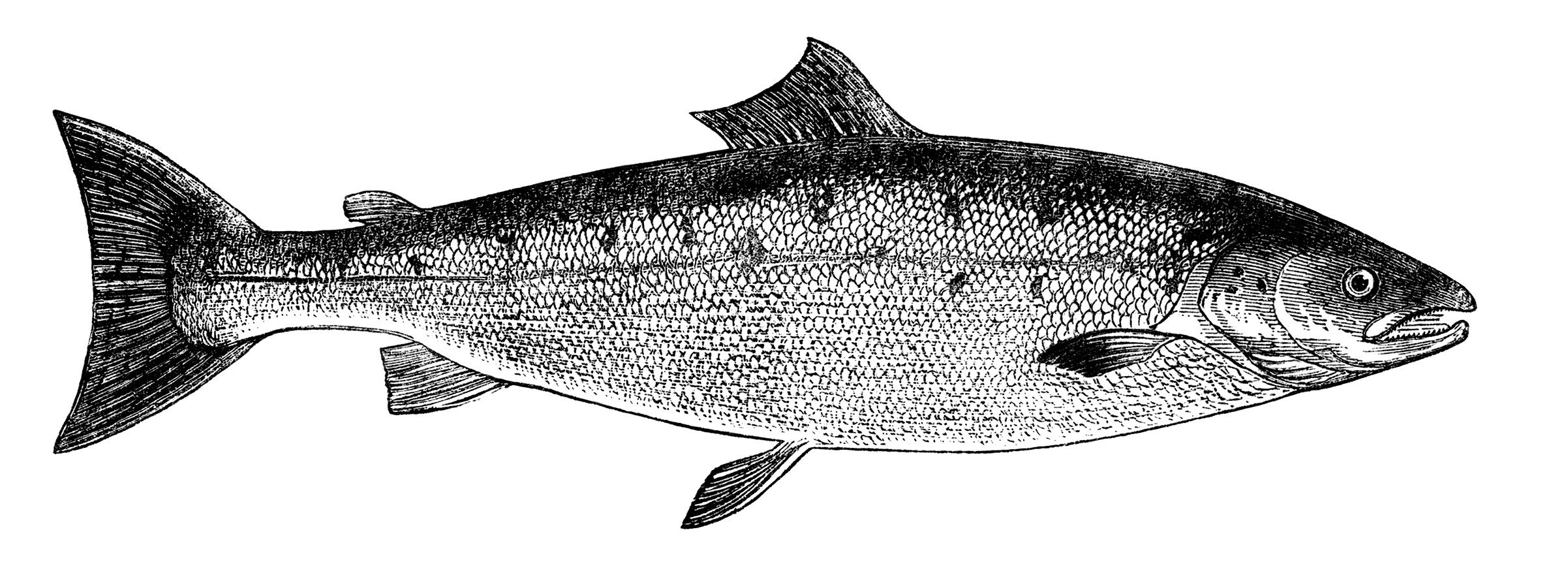 black and white clip art, vintage fish clipart, salmon image.