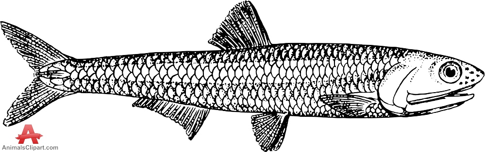Anchovy Fish Drawing Clipart.