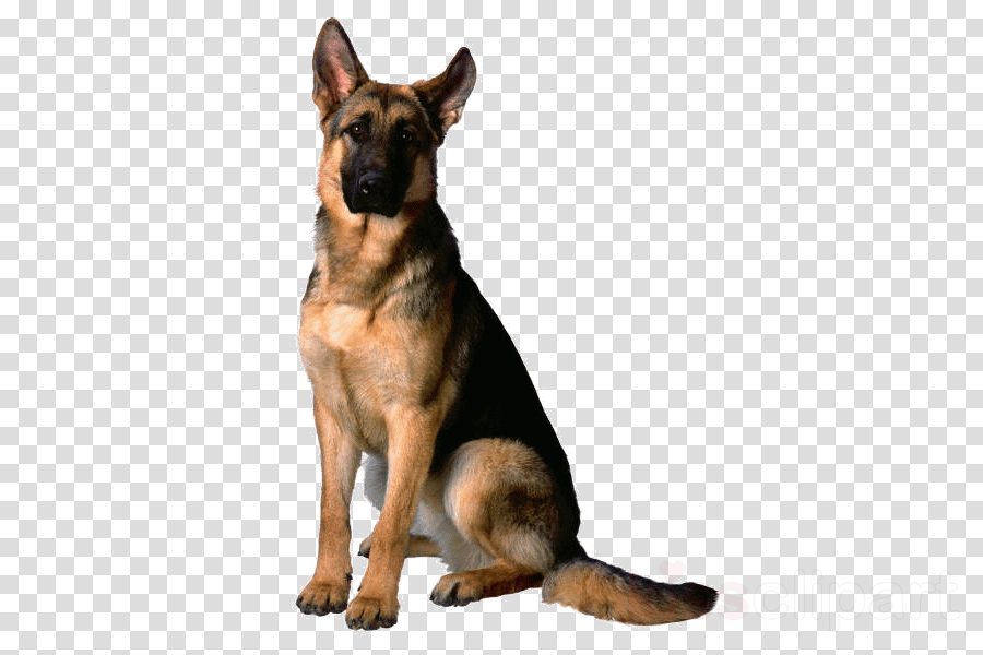 dog german shepherd dog dog breed king shepherd old german.