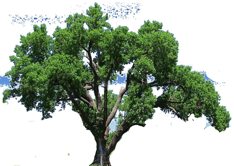 Oak Tree Clipart.
