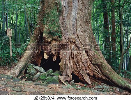 Stock Photo of Ancient tree u27285374.