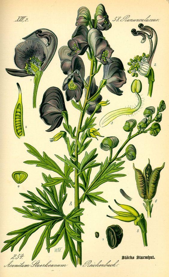 Aconitum x stoerkianum aka Hybrid Monk's.