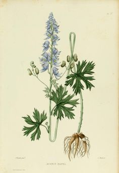 Monkshood, more commonly known as wolfsbane ;).