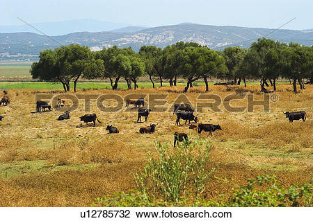 Stock Photo of Spain, Andalucia, Andalusia, Cattle farming.