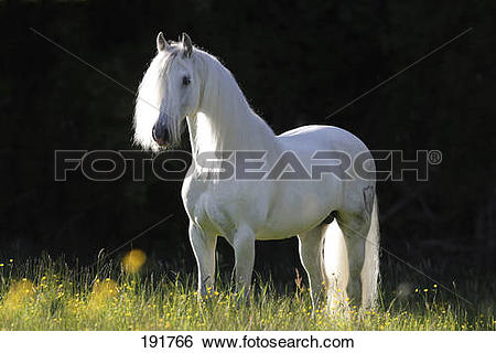 Stock Images of Pure Spanish Horse, PRE, Andalusian Horse. Grey.