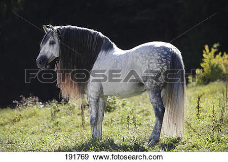 Stock Photograph of Pure Spanish Horse, PRE, Andalusian Horse.
