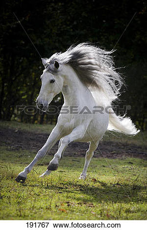 Picture of Pure Spanish Horse, PRE, Andalusian Horse. Grey.