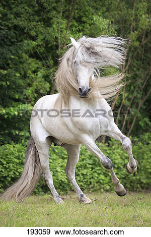 Stock Photograph of Pure Spanish Horse, Andalusian. Gray stallion.