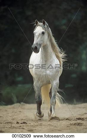Stock Photograph of andalusians, Andalusian, andalusian, ahead.