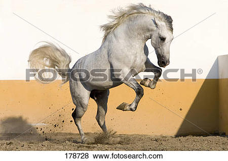Pictures of Pure Spanish Horse, PRE, Andalusian Horse. Grey.