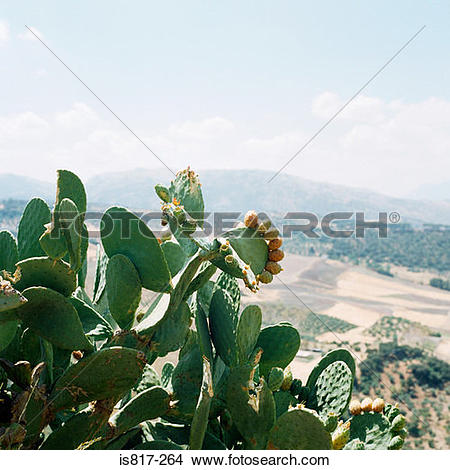 Stock Photo of Cactus plant andalucia is817.