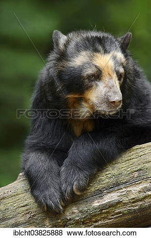 """Pictures of """"Spectacled Bear or Andean Bear (Tremarctos ornatus."""