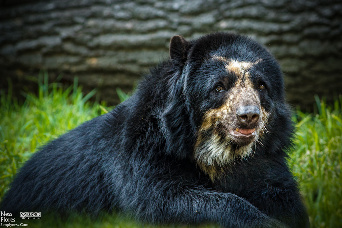 1000+ images about Andean bear on Pinterest.