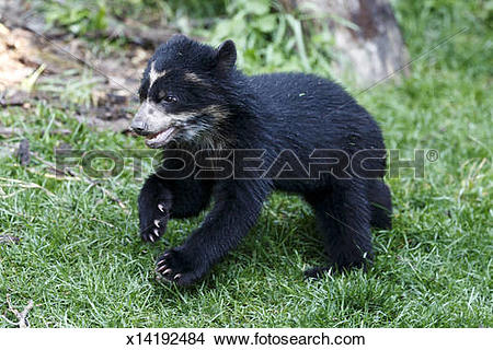 Stock Photo of Andean bear x14192484.