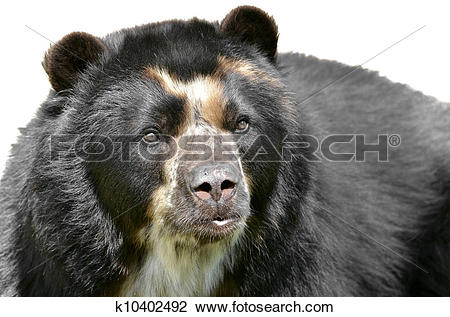 Stock Photo of Isolated portrait of Andean bear k10402492.