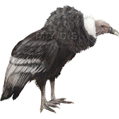 Andean Condor clipart graphics (Free clip art.