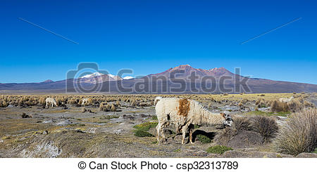 Pictures of herd of llamas andean, grazing in the highlands of the.