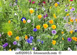 Convolvulus Stock Photo Images. 557 convolvulus royalty free.