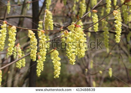 Korean Wheeldon Pink Flowers Scientific Name Stock Photo 267925886.