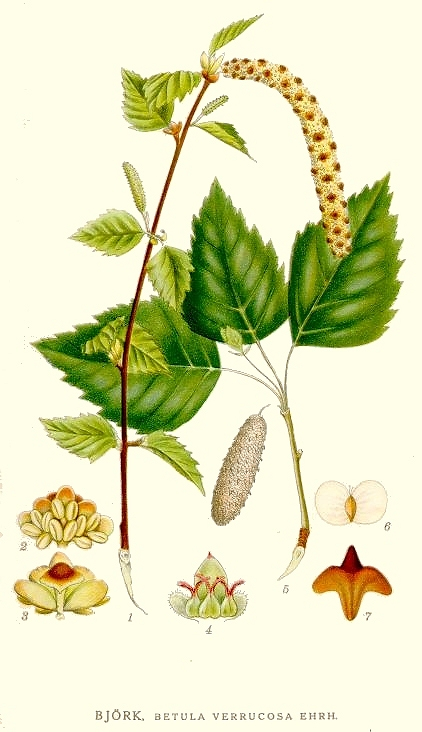 Carl Axel Magnus Lindman: Bilder ur Nordens Flora (1901.
