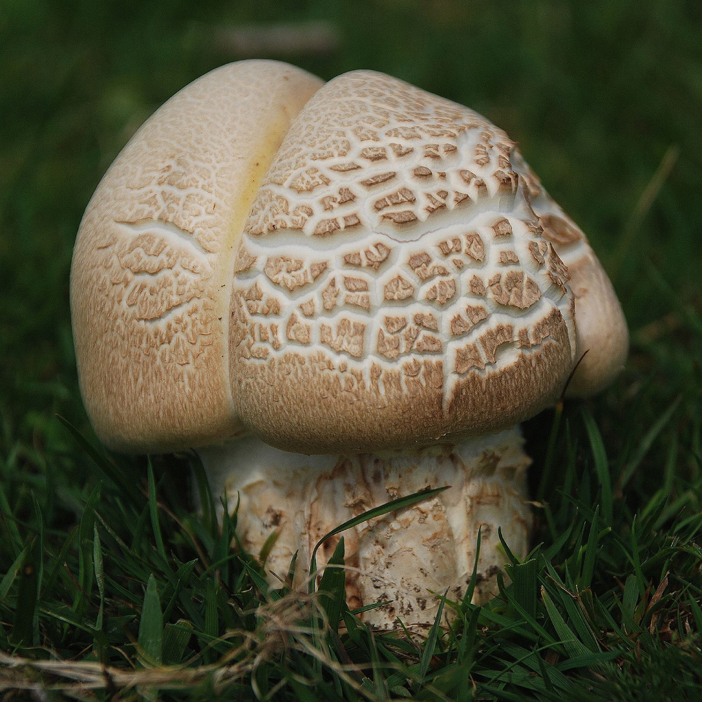 Horse Mushrooms Related Keywords & Suggestions.