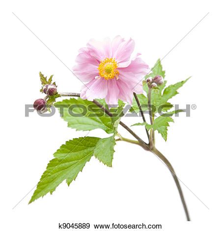 Stock Photograph of opened flower of Japanese anemone (Anemone.