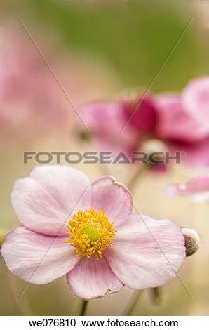 Stock Photography of Pink Japanese Anemone Flowers. Anemone.