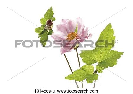 Stock Images of Blossom of fall anemone (Anemone japonica 10145cs.
