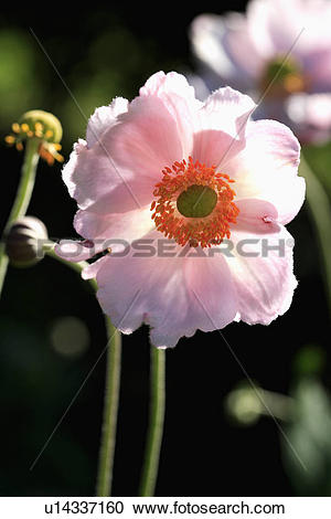 """Stock Photography of Close up of white """"Anemone """"Japonica"""" flower."""