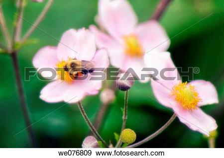 Stock Photograph of Bee on Pink Japanese Anemone Flowers. Anemone.