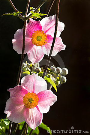 Pink Japanese Anemone Or Anemone Japonica Flower Royalty Free.
