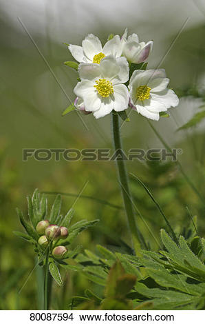 Stock Photo of Narcissus flowered anemone, Narcissus.
