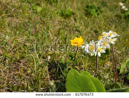 Alpine Anemone Stock Images, Royalty.
