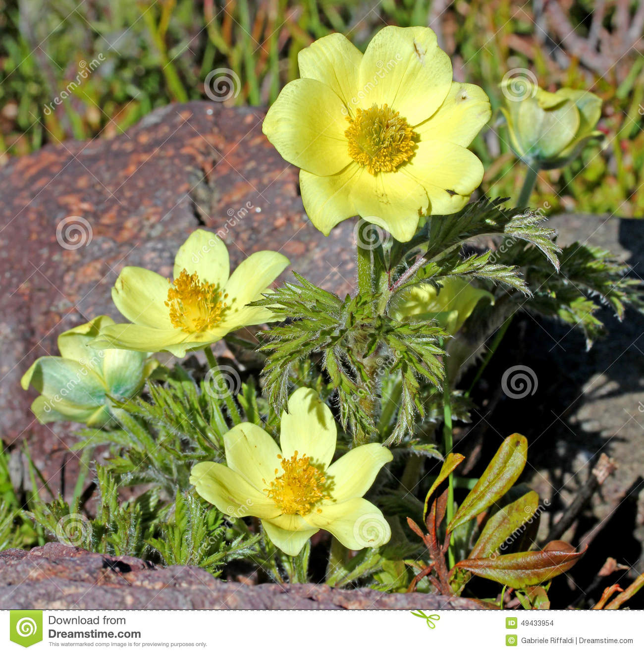 Yellow Anemone Of Mountain (pulsatilla Alpina)) Stock Photo.