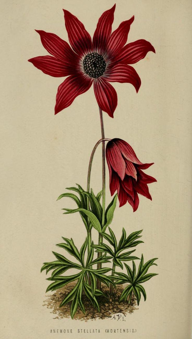 Anemone alpina l clipart #6