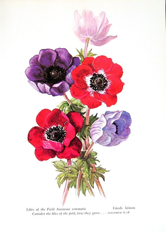 Anemone, Lilies of the Valley, Vintage 1957 Botanical Print with.