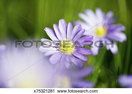 Stock Photography of Purple anemone (anemone blanda) amongst grass.