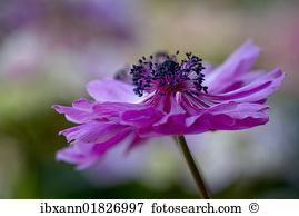 Anemone flower Stock Photo Images. 5,024 anemone flower royalty.